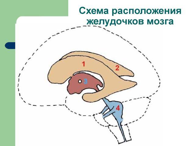 Схема расположения желудочков мозга