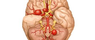 Макет мозга человека