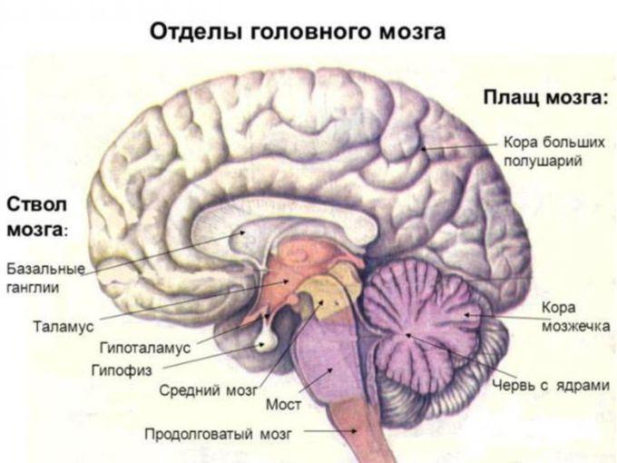 Строение мозга